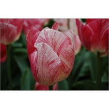Photo de Tulipe triomphe Hemisphere