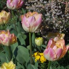 Tulipes Rares Ou De Collection Bojardin