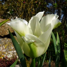 Photo de Tulipe viridiflora Spring Green