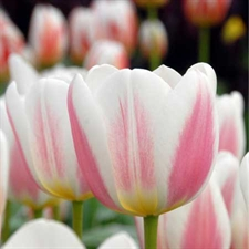 Photo de Tulipe triomphe Beau Monde