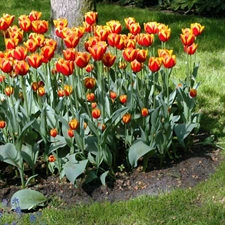 Photo de Gros Bulbes Tulipe Darwin 'Apeldoorn Elite'