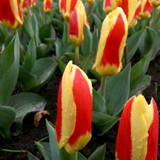 Photo de Tulipe Kaufmanniana Stresa