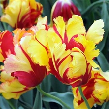 Photo de Tulipe perroquet Texas Flame