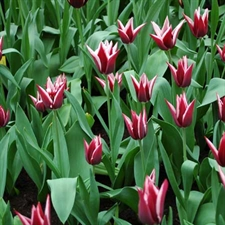 Photo de Tulipe Triomphe Rajka