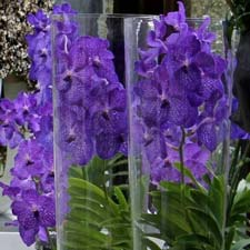 Photo de Orchidée Vanda Black Beauty en vase