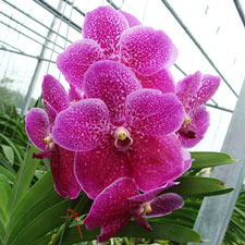 Photo de Orchidée Vanda Pink Beauty