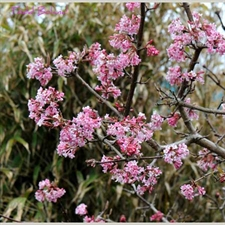Photo de Viburnum x bodnantense 'Dawn'