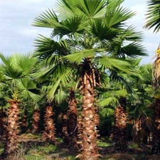 Photo de Washingtonia robusta, Palmier du Mexique