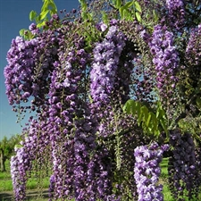 Photo de Glycine japonaise Black Dragon (Wisteria floribunda)