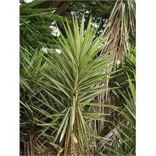 Photo de Yucca elephantipes Jewel