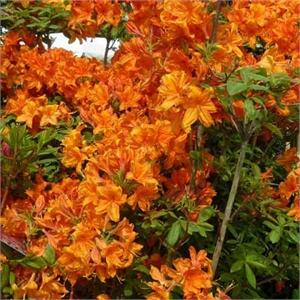 azal e de chine orange azalee mollis orange moneden azalee caduque azalee caduc. Black Bedroom Furniture Sets. Home Design Ideas