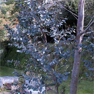 Photo de  Eucalyptus gunnii