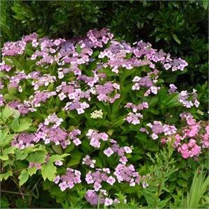 Hortensia A Fleurs Plates Teller Rose Mon Eden