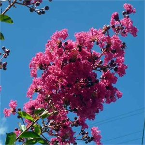 Photo de  Lilas des Indes rouge, Lagerstroemia indica Caroline Beauty