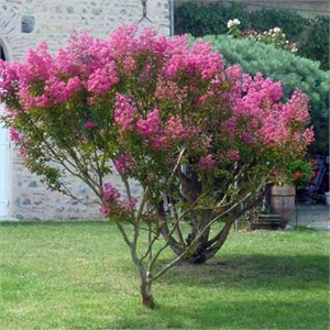 Photo de  Lilas des Indes, Lagerstroemia indica