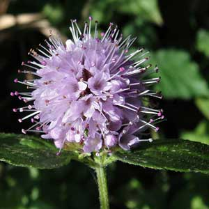 Photo de  Menthe aquatique, Mentha aquatica