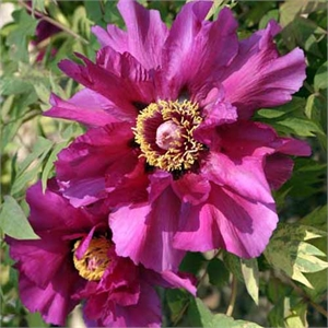 Photo de  Pivoine arbustive violette