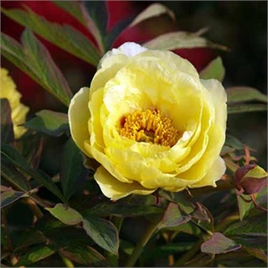 Photo de  Pivoine arbustive - Jaune