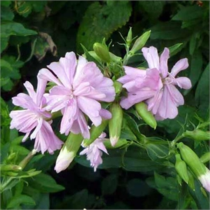 Photo de  Saponaire officinale rose, Saponaria officinalis Rosea Plena