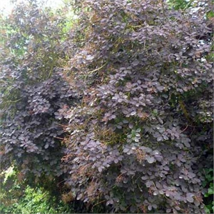 Photo de  Arbre aux perruques Royal purple