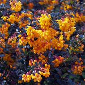 Photo de  Berberis linearifolia Orange king