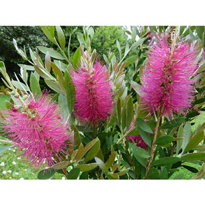Photo de  Callistemon Bright Pink