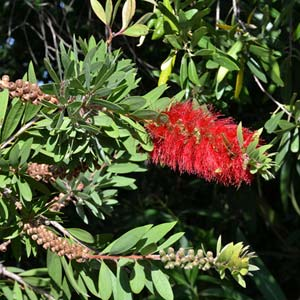 Photo de  Callistemon citrinus