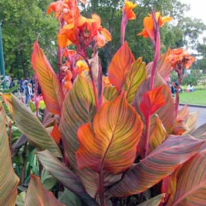 Photo de  Canna haut Tropicana (Durban)