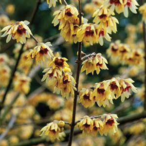 Photo de  Chimonanthe, Chimonanthus praecox