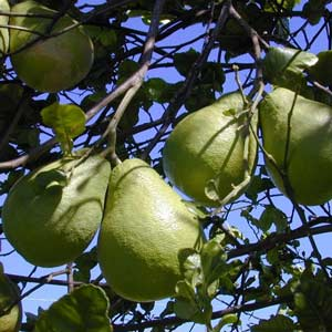 Photo de  Citrus maxima, Pamplemoussier