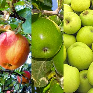 Photo de  Collection de trois pommiers : Elstar + Golden Delicious + Granny Smith