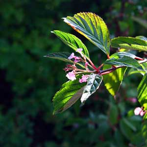 Photo de  Cornus alba 'Kesselringii'