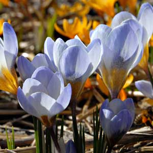 Photo de  Crocus Blue Pearl