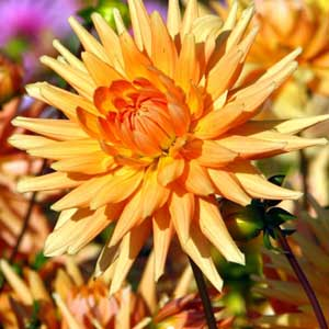 Photo de  Dahlia cactus 'Gold Crown'