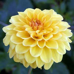 Photo de  Dahlia pompon 'Golden Sceptre'