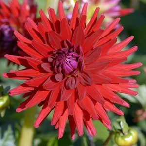 Photo de  Dahlia cactus 'red Majorette'