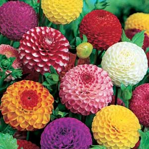 Photo de  Dahlias pompons coloris variés par 5