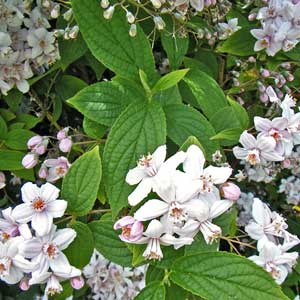 Photo de  Deutzia 'Mont Rose'