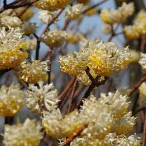 Photo de  Edgeworthia chrysantha, Buisson papier