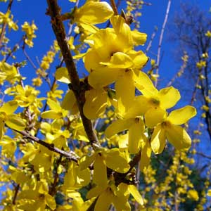 Photo de  Forsythia 'Courtalyn = Week-End'