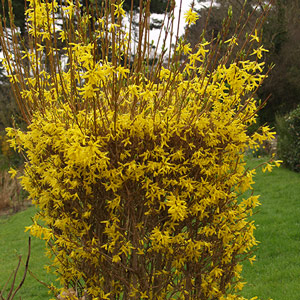 Photo de  Forsythia Spectabilis