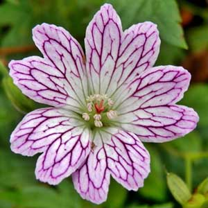 Photo de  Geranium versicolor