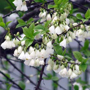 Photo de  Halesia carolina, Arbre aux cloches d'argent