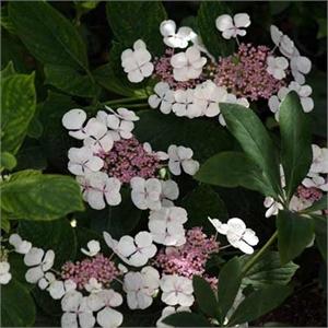 Hortensia A Fleurs Plates Blanc Mon Eden