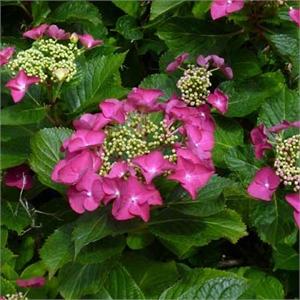 Hortensia A Fleurs Plates Teller Rouge Rotkehlchen Mon Eden