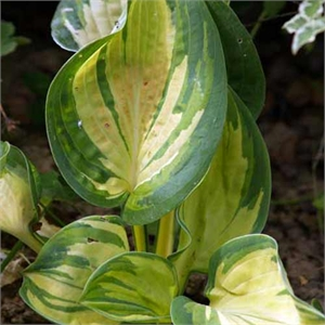 Photo de  Hosta June®