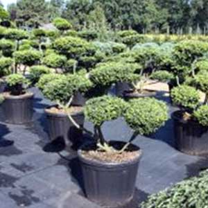 ilex crenata convexa bonsa taill en nuages houx crenel mon eden. Black Bedroom Furniture Sets. Home Design Ideas