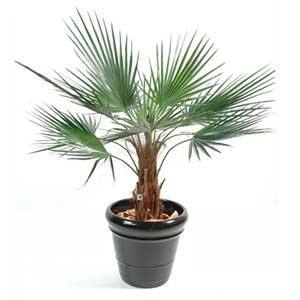 Photo de  Palmier artificiel Washingtonia, H90cm