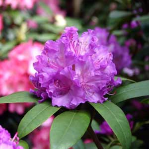 Photo de  Rhododendron Alfred