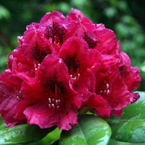 Photo de  Rhododendron Lord Roberts